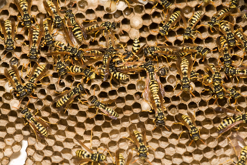 Adult yellow jacket wasps and larvae on a large nest, Spain