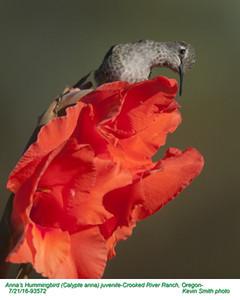 Anna's Hummingbird J93572.jpg