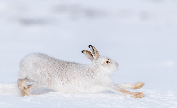 Nature: Mountain Hares  - Winter