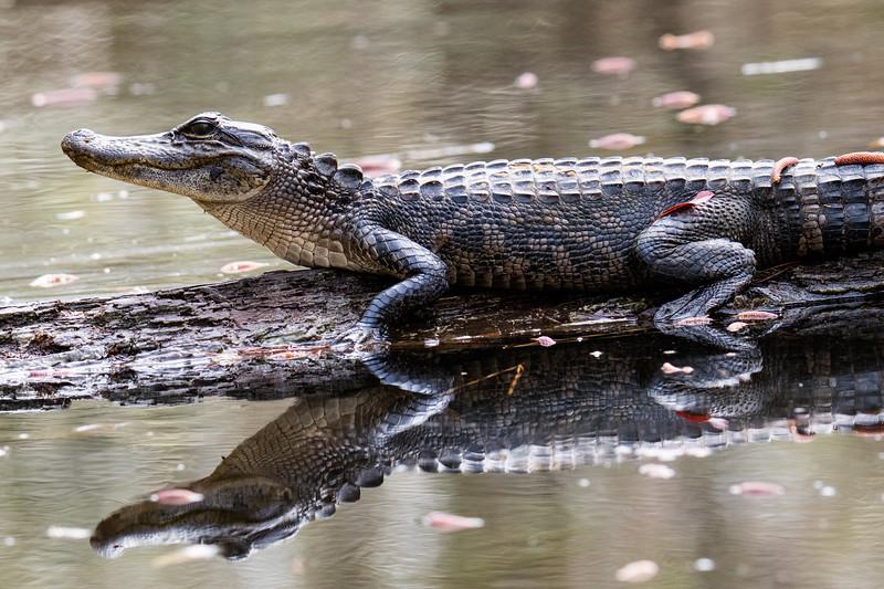 Gator Gulf Coast 2020-3.jpg