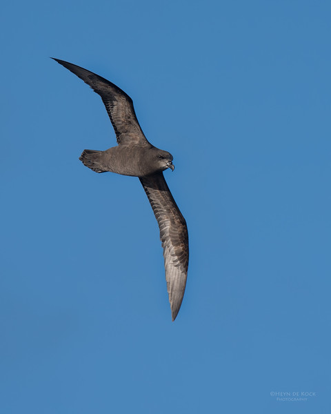 Grey-faced  Petrel, Eaglehawk Neck Pelagic, TAS, July 2015.jpg