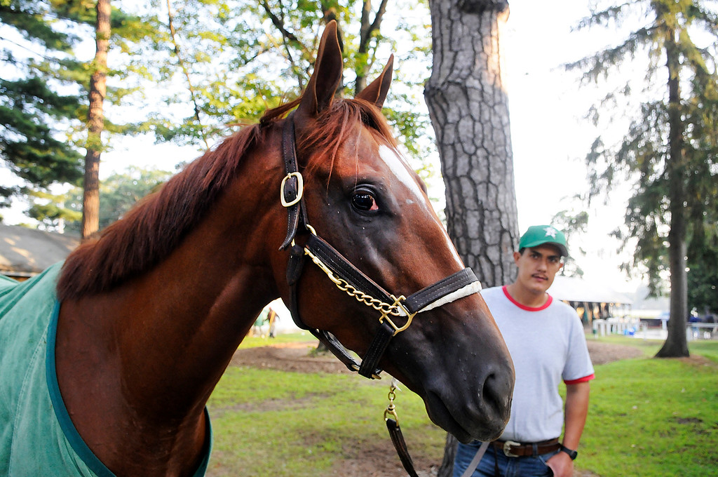 . On the Oklahoma Training Track, Golden Soul is walked outside his barn by groom Albeno Mata. Trainer Dallas Stewart is set to run in the Travers this Saturday at the Saratoga Race Course.Photo Erica Miller/The Saratogian 8/20/13 GoldenSoul3
