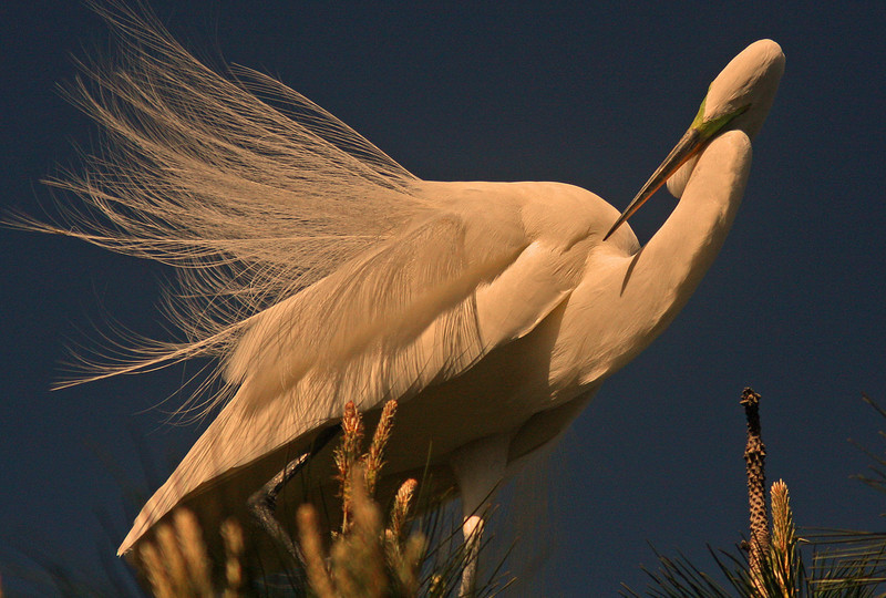 WB~Rookery egret top feathers1280.jpg