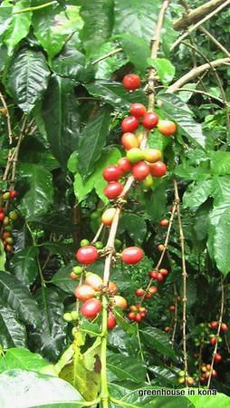 YNCoffee Fruit.JPG