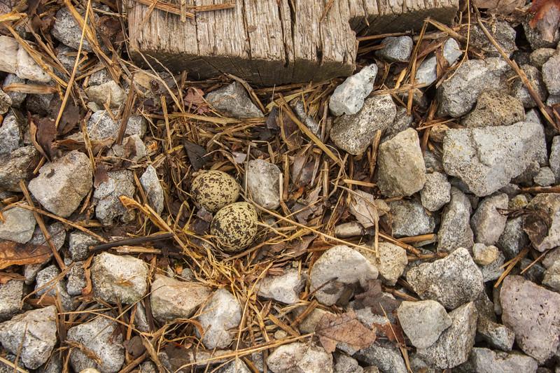 Canton OH Killdeer nest 2019