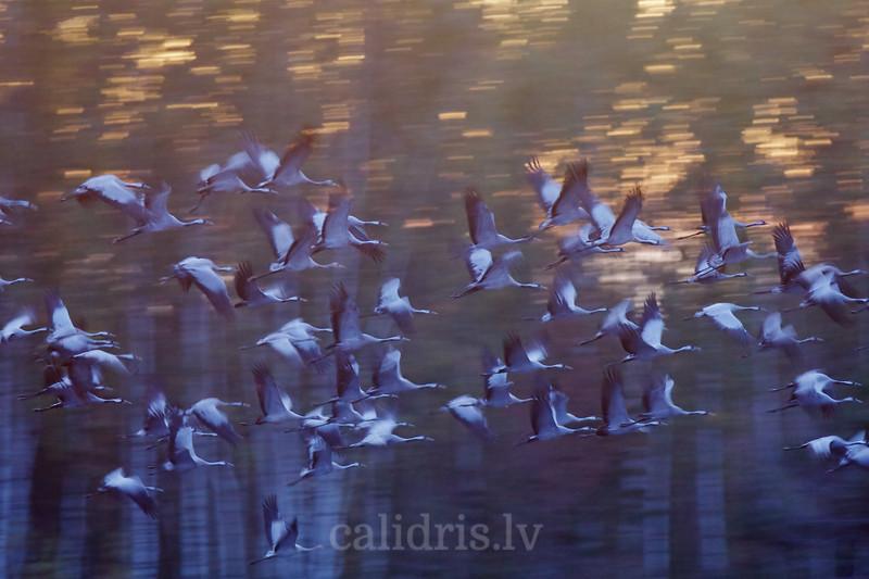 Dzērves lidojumā / Common Cranes in flight