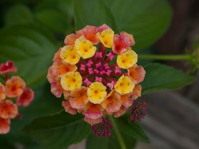 Lantana camara (Verbenaceae)