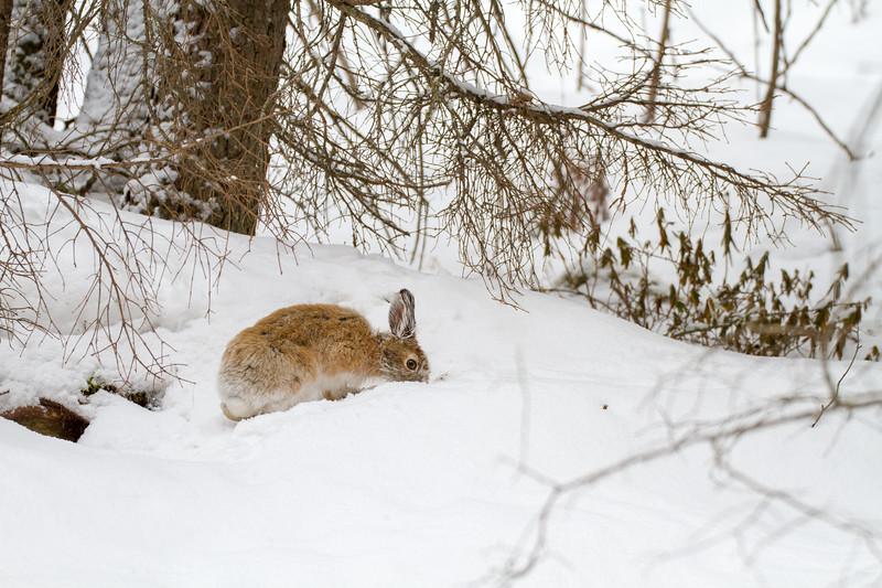 Snowshoe Hare Warren Nelson Memorial Bog Sax-Zim Bog MNIMG_0760.jpg