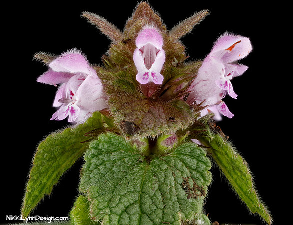 Dead nettle - The brightly colored tubular blooms attract a wealth of bees and hummingbirds.  Besides attracting pollinators, the plant also attracts birds and is deer resistant.