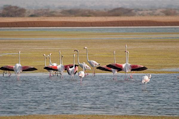 Flamingo -פלמינגו