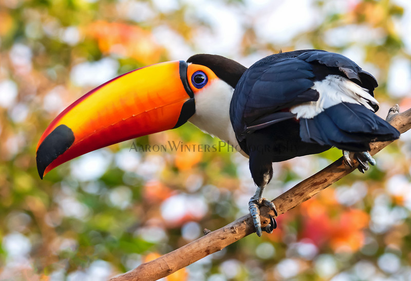Toucan Play That Game 2017