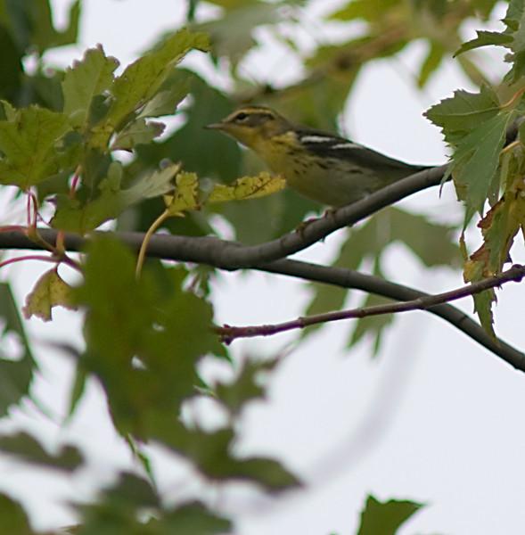 Blackburnian Warbler  Fall