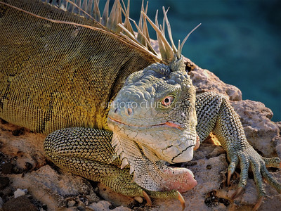 DIGITAL-COLOR-ADVANCED-GOLD-BONAIRE IGUANA-KATHY VITALE