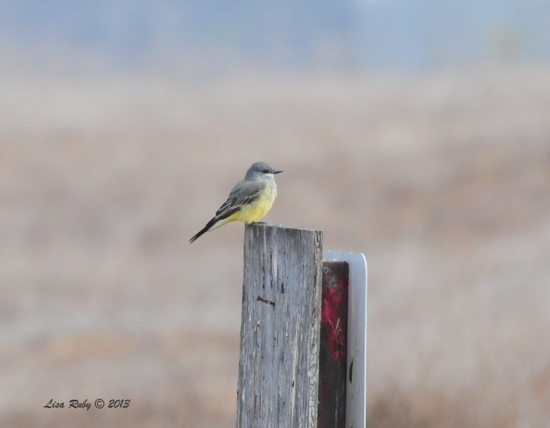Cassin's Kingbird - 10/12/13 - Whelan Lake