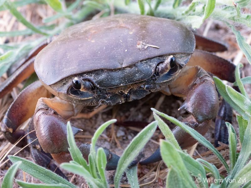 20181203 Western River Crab (Potamonautes perlatus) from Parklands, Western Cape