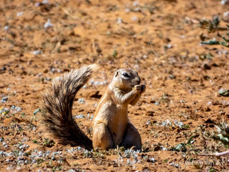 20190705 South African Ground Squirrel (Geosciurus inauris) from Olifantshoek, Northern Cape