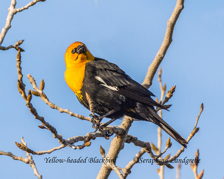 _DSC8837Yellow-headed Blackbird A .jpg