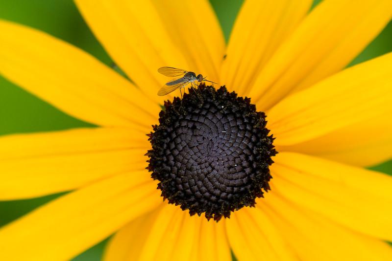tiny fly on whorl.jpg