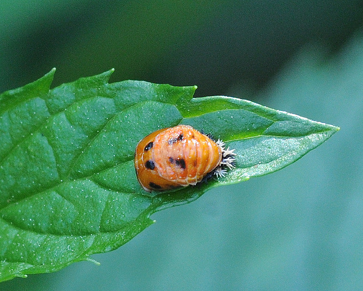 Lady Bug Pupa on Mint Leaf