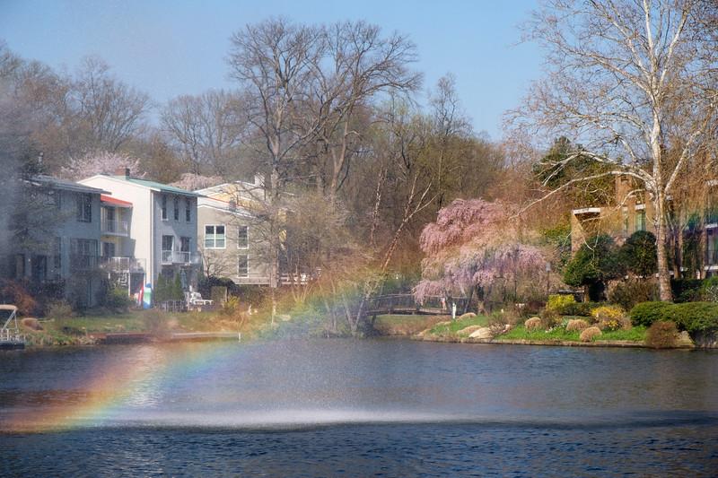 Rainbow over Lake Anne's cherry blossoms