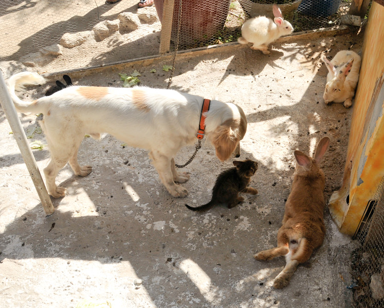 Kitten playing with rabbits and a dog (Crete, Greece)