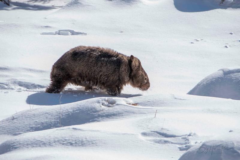 Wombat Aug 10 a_1.jpg