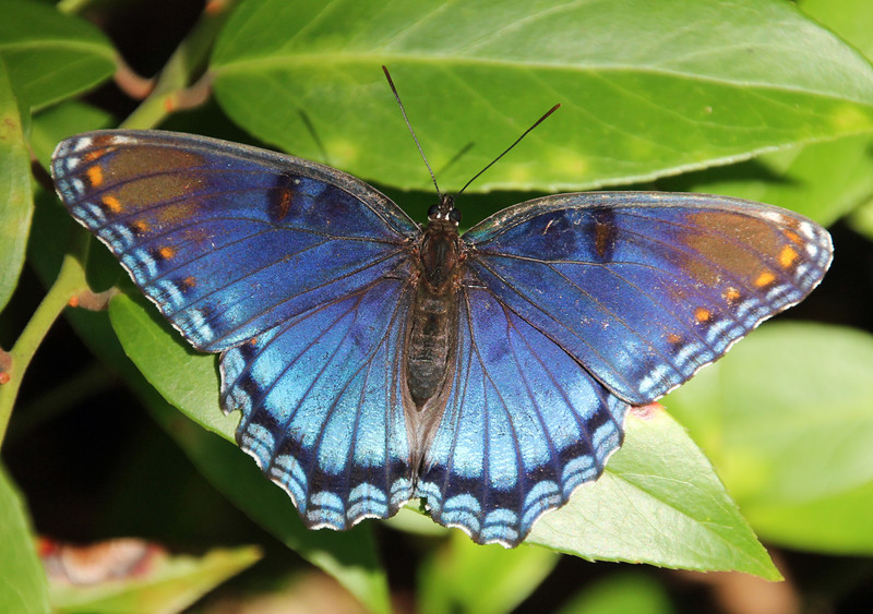 Red Spotted Purple 1
