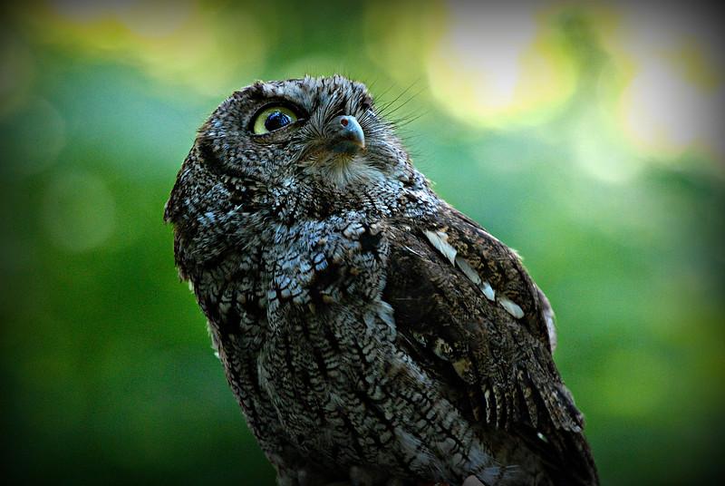 Western Screech Owl, WA