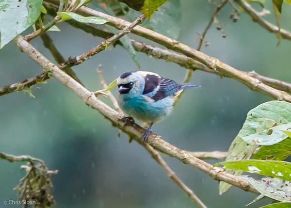 Metallic-Green Tanager at Bellavista Lodge, Ecuador (03-05-2014) 028-246.jpg