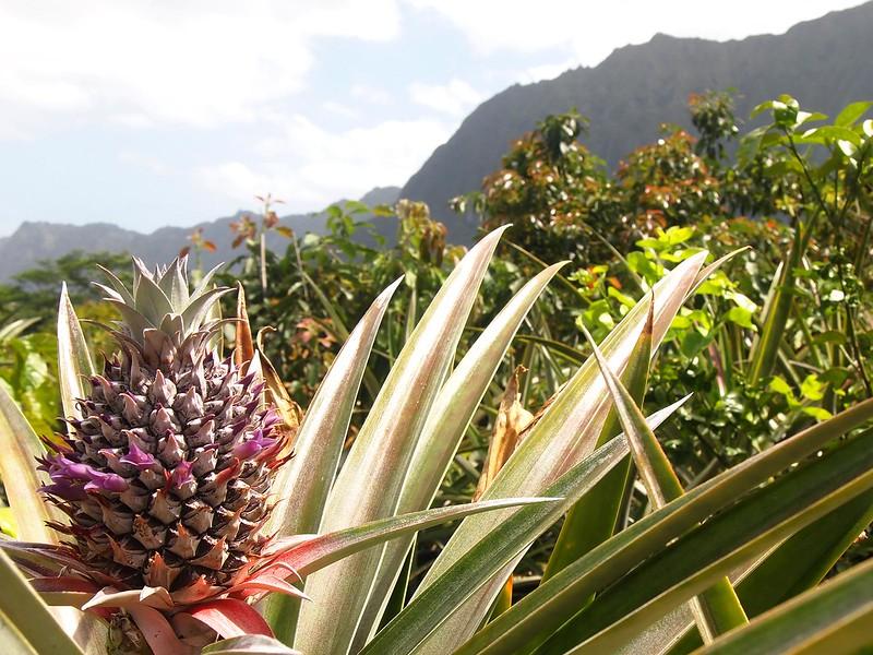 Pineapple-flowering-Frankie's-Nursery.jpg