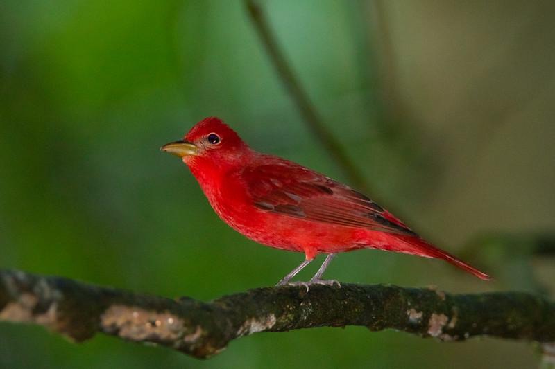Summer Tanager - Male - Selva Verde, Costa Rica