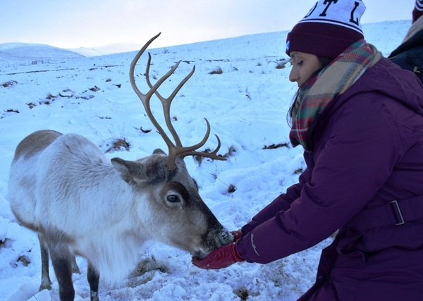Visiting Scotland's wild reindeer on a Cairngorm reindeer adventure.