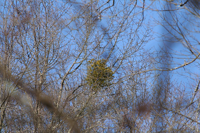Mistletoe in Three Counties 1-28-12