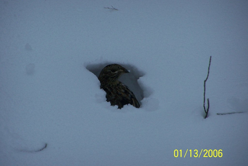 Dec. 28, 2012, a partridge in the snow. You don't see this too often!