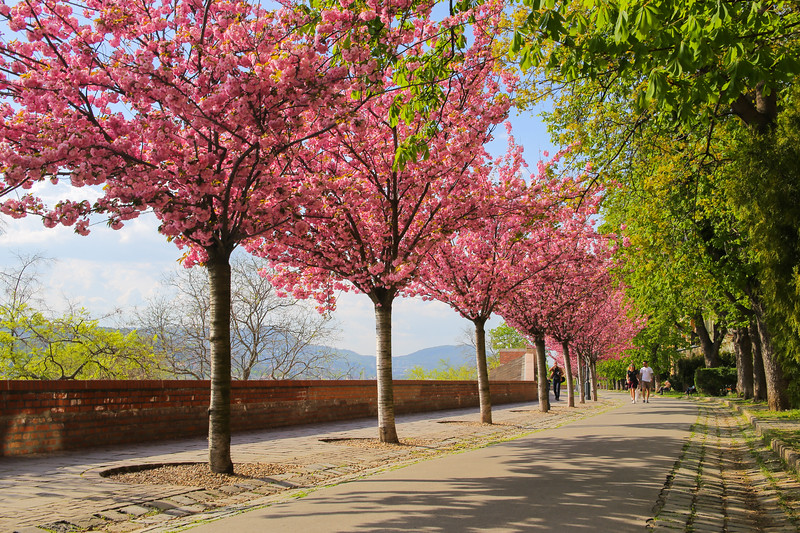 Trees blossoming in Buda Castle