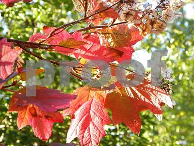 oakleaf-hydrangeas-spread-their-from-spring-through-fall