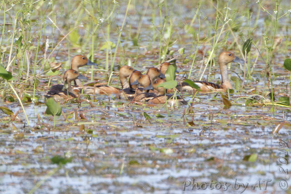 2019-09-14 Fulvis Whistling-Ducks