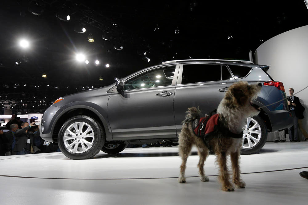 Description of . A service dog named Cookie walks around the Toyota RAV4 during it's world debut at the LA Auto Show in Los Angeles, Wednesday, Nov. 28, 2012. The annual Los Angeles Auto Show opened to the media Wednesday at the Los Angeles Convention Center. The show opens to the public on Friday, November 30. (AP Photo/Chris Carlson)