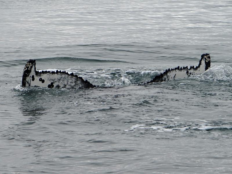 Humpback Whale tail, Húsavík