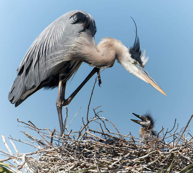 GB Heron & Chick-3742.jpg