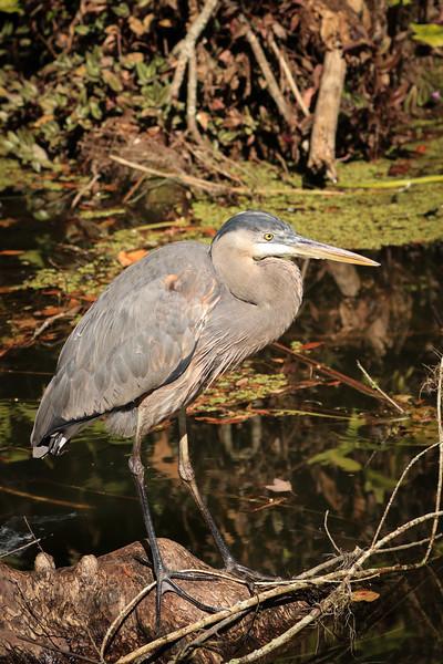 Great Blue Heron - Florida
