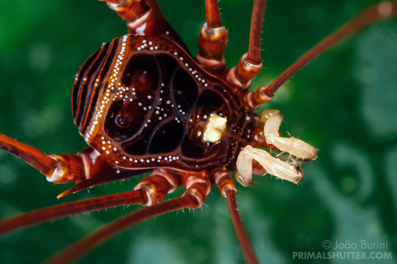 Portrait of a harvestman from the atlantic rainforest
