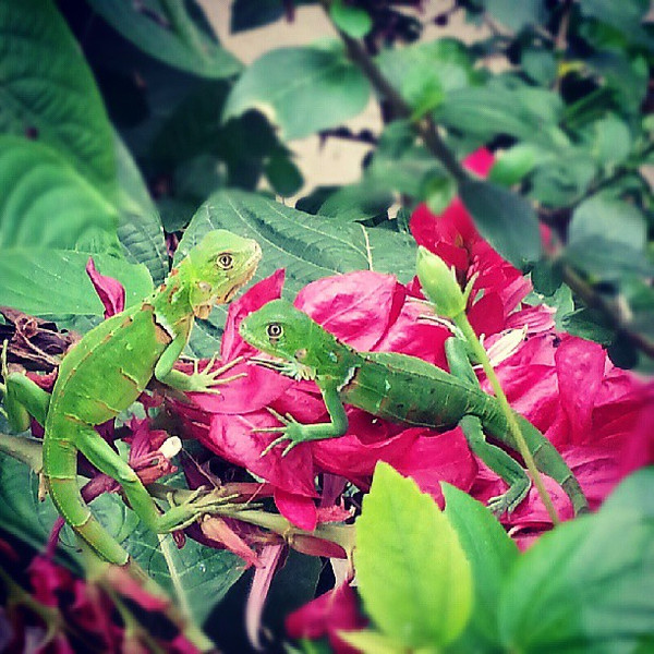 Today_looking_out_my_window_I_saw_a_hummingbird__these_two_iguanas_and_a_random_donkey_wandering_the_street._I_heart_Ecuador..jpg