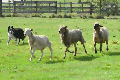 Herding class