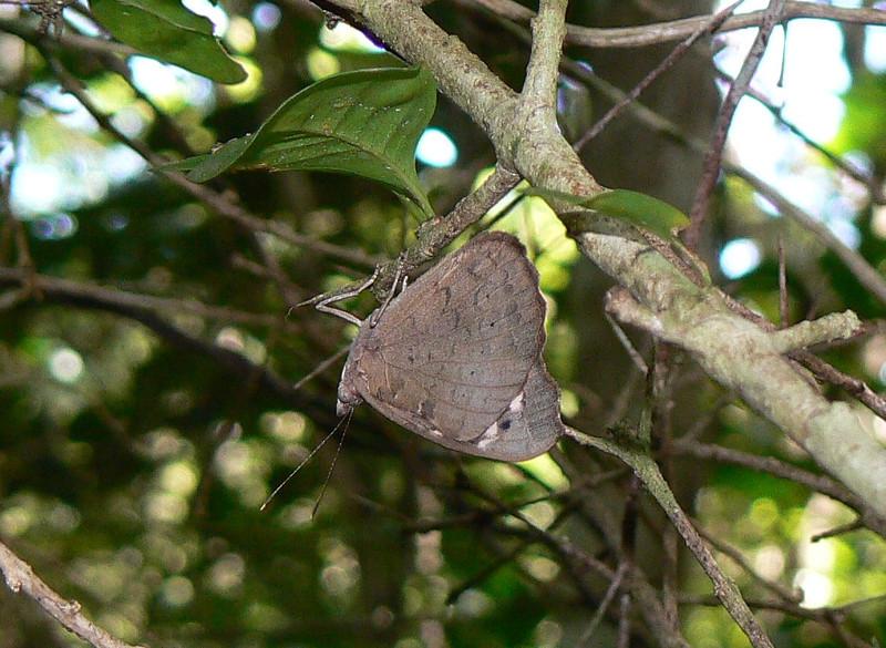 Florida Purplewing 730 Nov 4, 2008 8:40 a.m.  P1040730 Florida Purplewing, Eunica tatila.  Cambalache Forest, here, +El Tunel, Maricao, Guanica (334, CuevaTr, Hoya, Ojo de Agua)