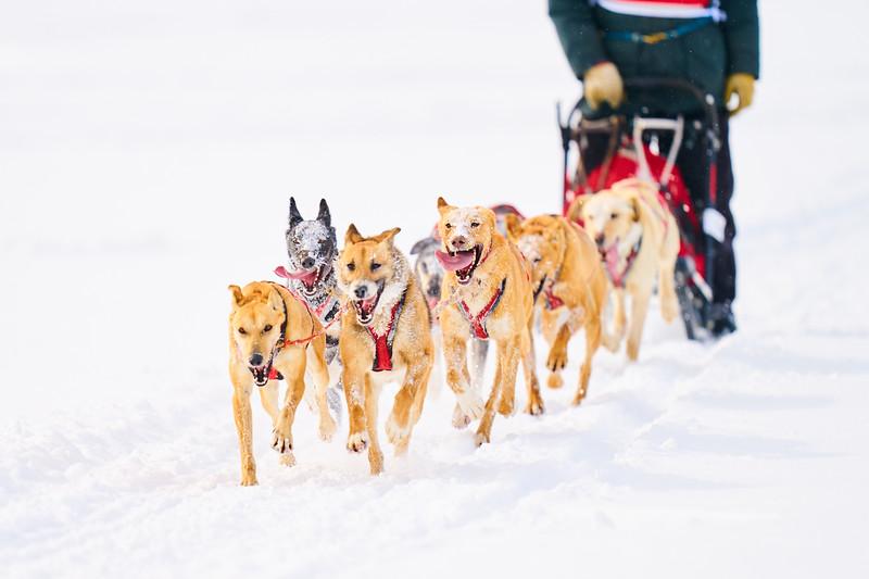 400    RobertEvansImagery.com IG @RobertEvansImagery   Klondike Dog Sled Race 2-9-2020.JPG