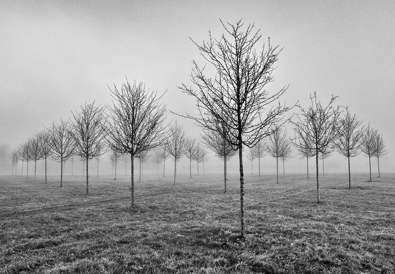 Young Trees In The Mist By RCC.jpg