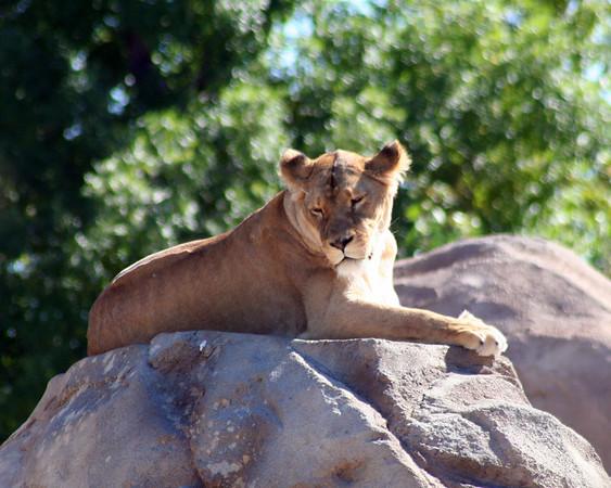 Big Cats - Lions, Tigers, Cheetahs etc.