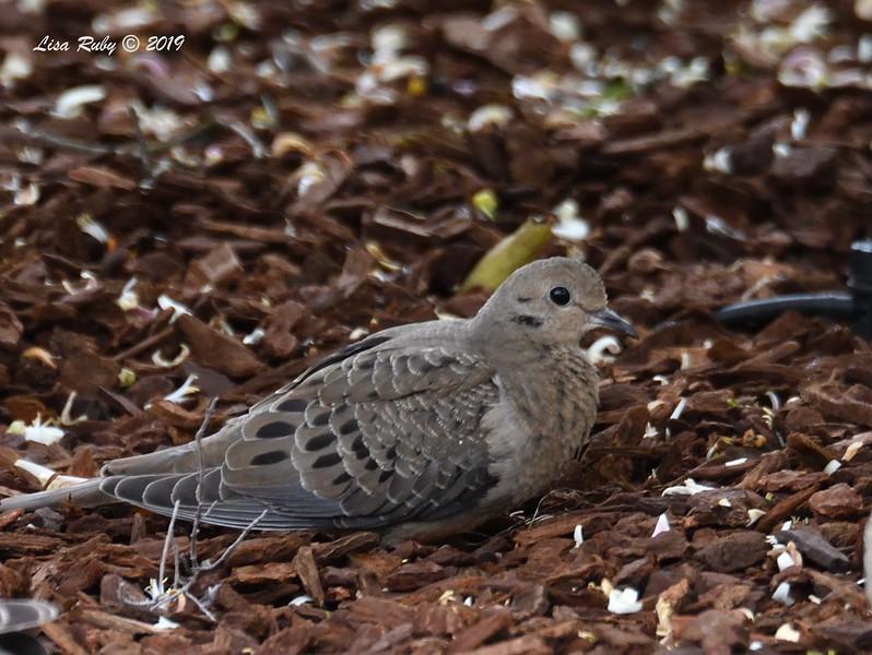 Juvenile Mourning Dove - 4/28/2019  -  Backyard Sabre Springs