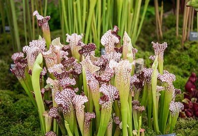 Carnivorous Pitcher Plant (Sarracenia Leucophylla) in full glory